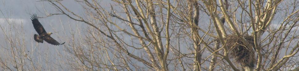 Eagle and nest (Photo: Márton Horváth)