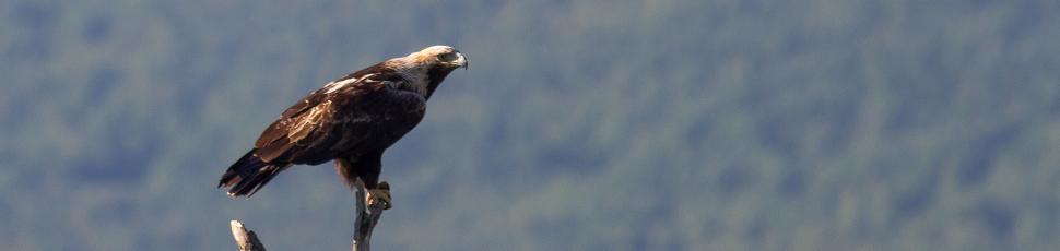 Adult imperial eagle (Photo: Márton Horváth)