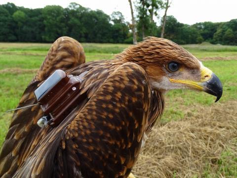 Satelitní vysílačky umožní sledování pohybu a aktivity orlů královských a pomohou odhalit nebezpečí, kterým dravci čelí