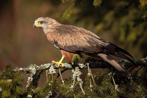 Stáhněte si tento bezplatný obrázek o Hnědý Pták Divoký Volně z rozsáhlé knihovny společností Pixabay, která obsahuje obrázky a videa z.
